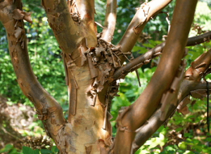 Корица дерево